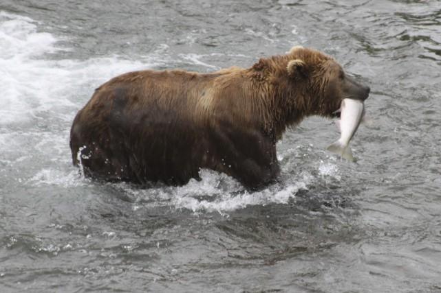 nouvel ordre mondial | Sous Trump, bacon et beignes bientôt réautorisés pour chasser l'ours en Alaska