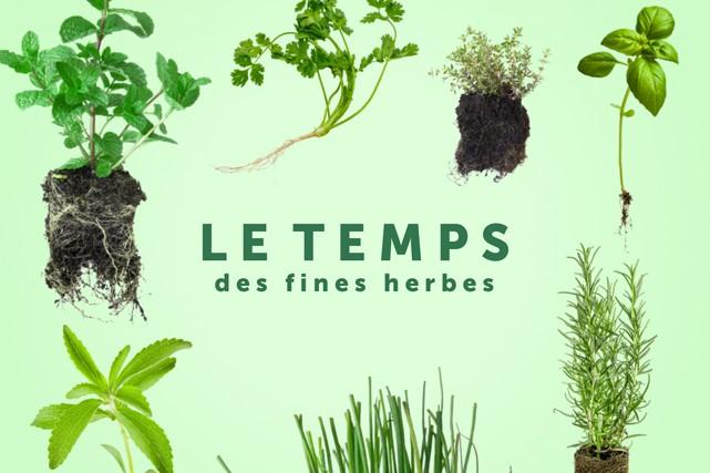 En terre ou en pots, qu'elles soient vivaces ou annuelles, les fines herbes...