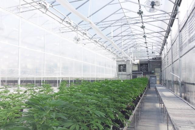 Une plantation de cannabis de Tantalus Labs.... (Photo archives La Presse Canadienne)