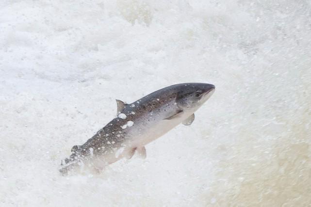 Selon les tribus, la pénurie de saumons est... (Photo archives La Presse Canadienne/Atlantic Salmon Federation)