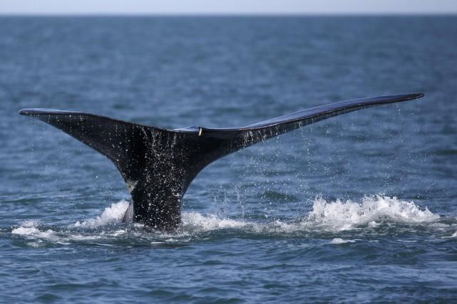 Les baleines noires de l'Atlantique Nord demeurent l'un... (Photo Michael Dwyer, archives La Presse canadienne)