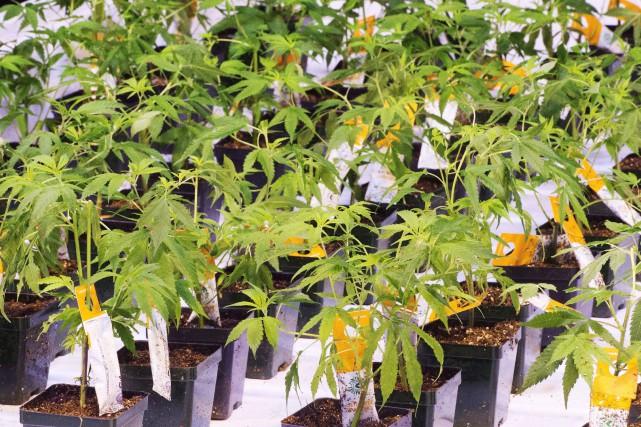 La marijuana médicinale et récréative est légale dans... (Photo Ryan Remiorz, Archives La Presse Canadienne)