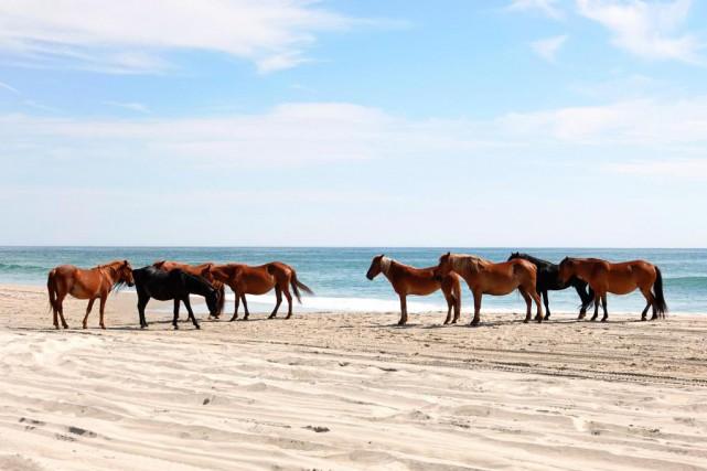 Un troupeau de chevaux sauvages sur la plage... (Photo Bernard Brault, La Presse)
