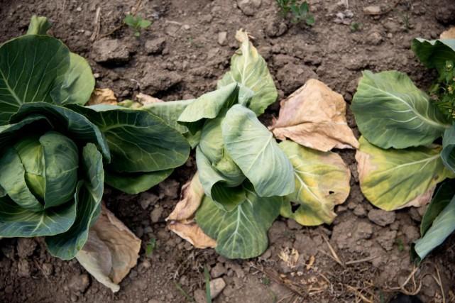 Les feuilles des choux jaunissent rapidement dans les... (Photo MarcoCampanozzi, La Presse)
