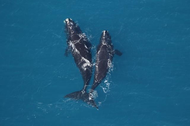 Deux baleines franches dans les eaux de l'Atlantique... (PHOTO PC)