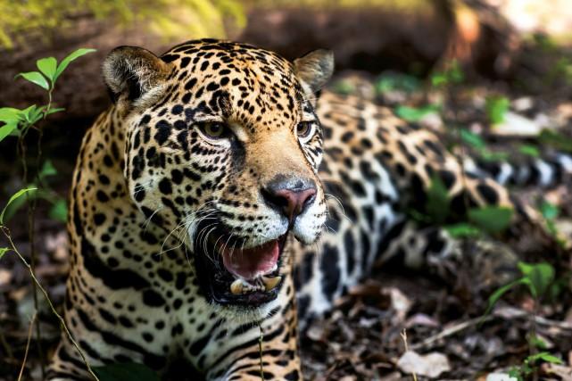 nouvel ordre mondial | Un jaguar s'évade et tue six animaux