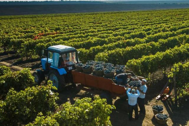 La famille Davidescu possède 1000 hectares de vignes... (Photo fournie par la famille)