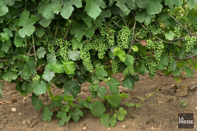 Au vignoble Camy, les rangées de pinot gris... (Photo Robert Skinner, La Presse)