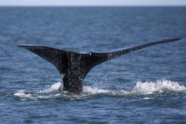 La baleine, identifiée comme un mâle adulte, avait... (Photo Michael Dwyer, Archives AP)