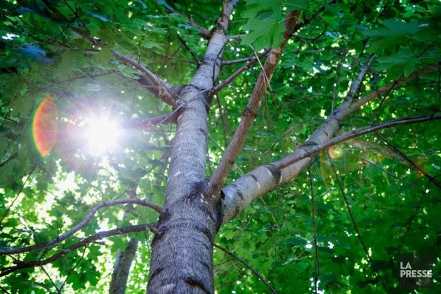 Le choix d'un arbre ne devrait pas se... (PHOTO ALAIN ROBERGE, LA PRESSE)