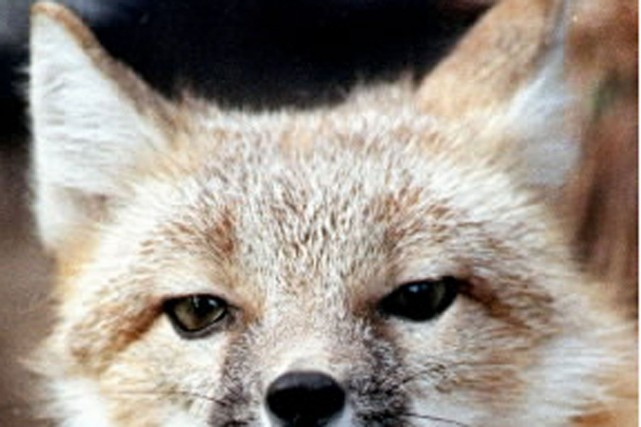«Si tu veux un ami, apprivoise-moi», dit le renard. Que faut-il faire? répond... (Photo archives AP)