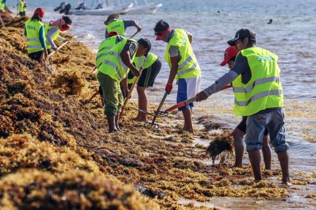 Des travailleurs municipaux ramassent des algues sargasses à... (Photo Archives Agence France-Presse)
