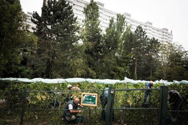 Si les vignes parisiennes de la très touristique... (Photo AFP)