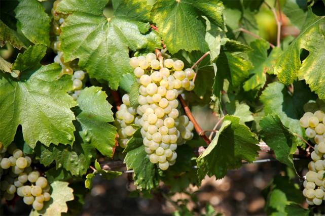 La saison estivale a été chaude dans plusieurs régions viticoles de... (photo Charles Platiau, reuters)