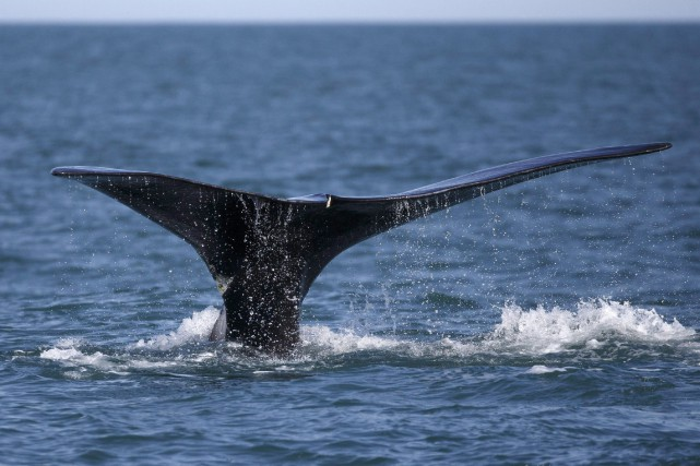 Il n'y a eu «aucune mortalité de baleine... (Photo Michael Dwyer, AP)
