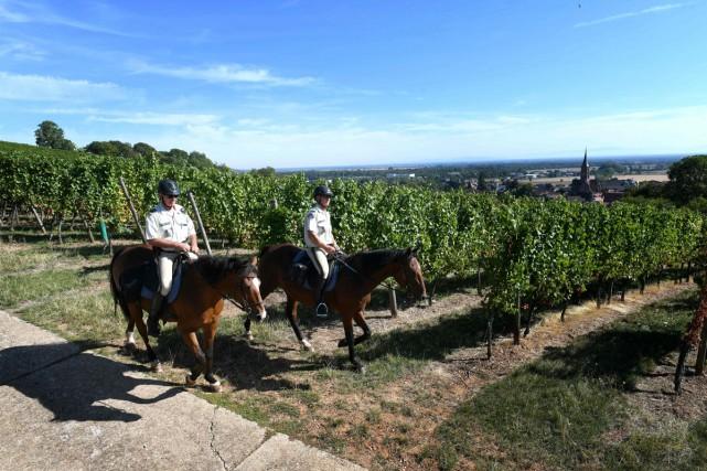 Sur les hauteurs de Soultz-Haut-Rhin, dans le vignoble... (Photo AFP)
