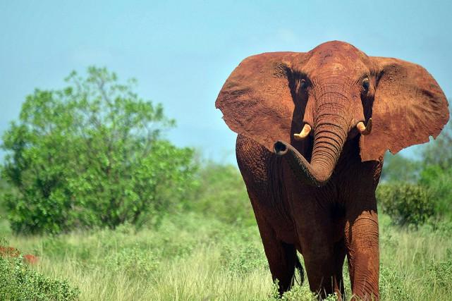 Un éléphant dans le parc national de Tsavo... (PHOTO TONY KARUMBA, ARCHIVES AGENCE FRANCE-PRESSE)