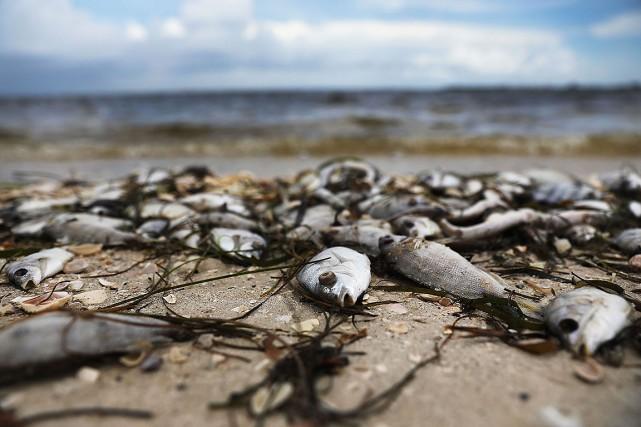 L'algue rouge est toxique, capable d'empoisonner les poissons... (ARCHIVES AFP)
