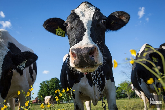 La « tolérance au lactose» c'est-à-dire la capacité... (PHOTO MATHIEU WADDELL, ARCHIVES LA PRESSE)