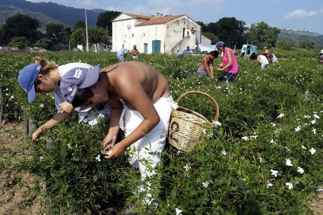 Des cueilleurs de fleurs de jasmin à Grasse.... (Photo PASCAL GUYOT, archives AFP)