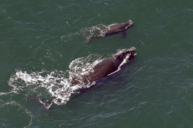 Une baleine noire et sa progéniture photographiés en... (Photo John Carrington, archives AP)