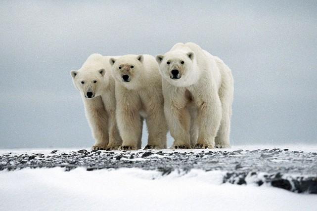 Une femelle et ses deux oursons sur l'île... (Photo fournie par le Fonds international pour le bien-être animal via REUTERS)