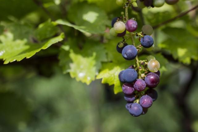 Pour André Shearer, importateur de vins aux États-Unis, un cru français... (Photo ÉDOUARD PLANTE-FRÉCHETTE, archives La Presse)