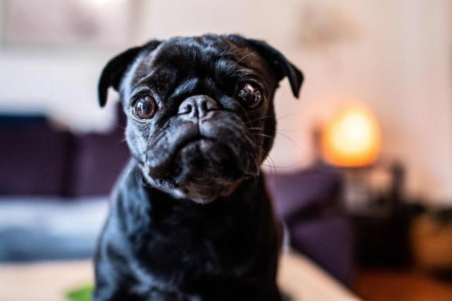 Edda, une chienne de race Pug... (PHOTO GUIDO KIRCHNER, AFP)