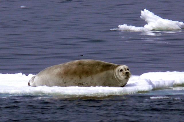 Les phoques annelés passent désormais «une partie significativement... (ARCHIVES REUTERS)