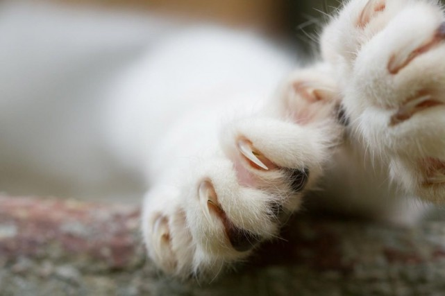 Chez le chat, le dégriffage peut causer de... (PHOTO GETTY IMAGES)