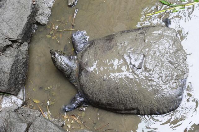 La tortue à carapace molle du Yangtsé ne... (PHOTO ARCHIVES AGENCE FRANCE-PRESSE)