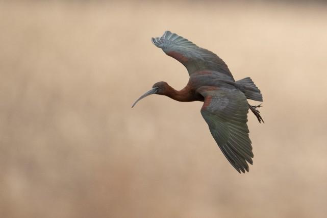L'ibis falcinelle a été aperçu dans les marais... (PHOTO LAURIE ANN QUIGLEY, LA PRESSE CANADIENNE)