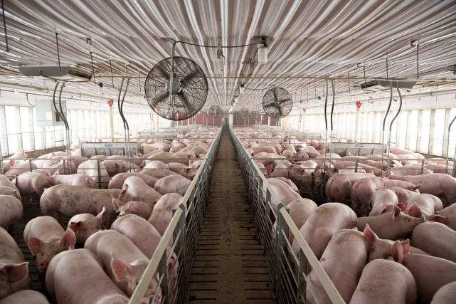 Les exportations de porc représentent aujourd'hui plus de... (PHOTO REUTERS)