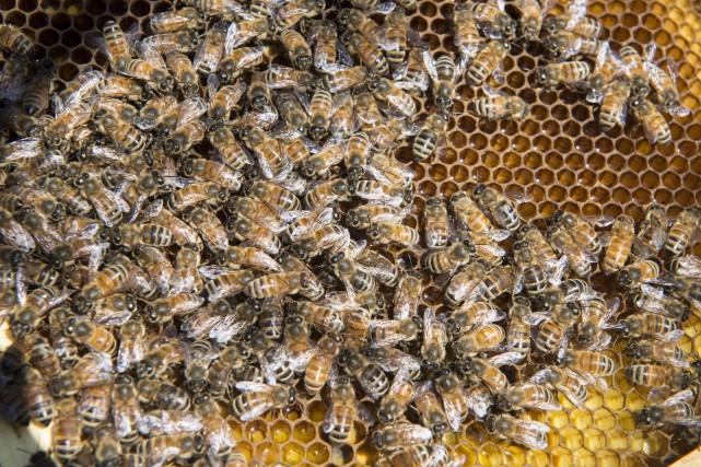 Pollinisateurs: l'ONU sonne l'alarme