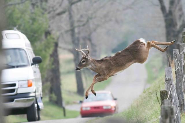 Collision avec des cerfs de Virginie: «Tu clignes des yeux, etilest là!»