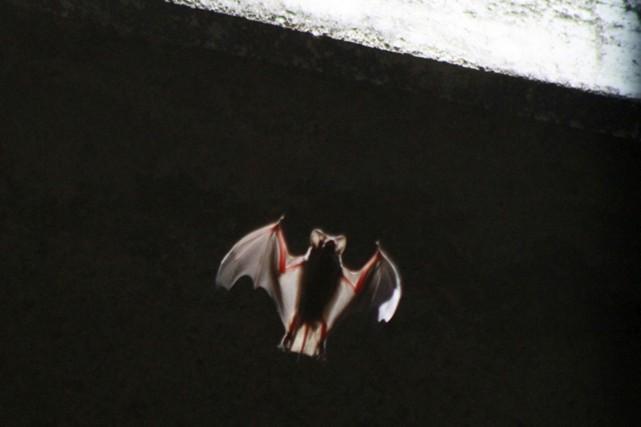 Une chauve-souris émerge d'en dessous d'un pont dans... (PHOTO REUTERS)