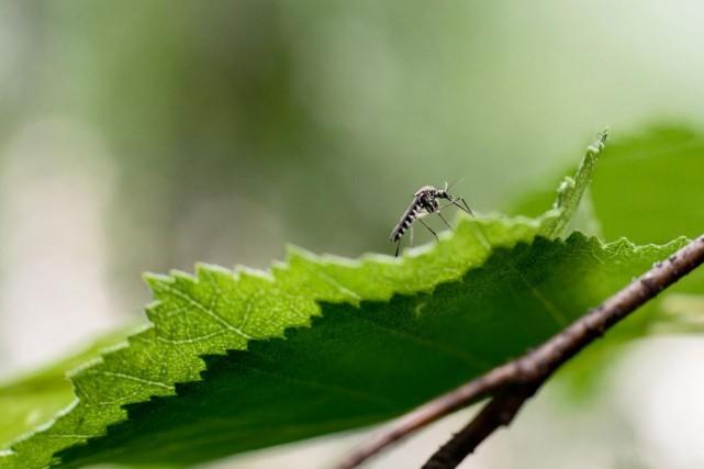 Les moustiques piqueurs sont particulièrement nombreux et voraces... (PHOTO TIRÉE DE GETTY)
