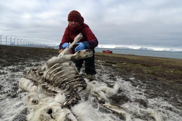L'écologiste Ashild Onvik Pedersen examine la carcasse d'un... (PHOTO AFP)