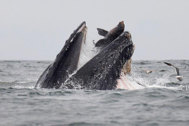 Un lion de mer tombant accidentellement dans la gueule grande ouverte d'une... (PHOTO CHASE DEKKER, AFP)