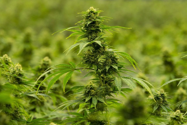 Le producteur de cannabis Hexo élimine 200postes