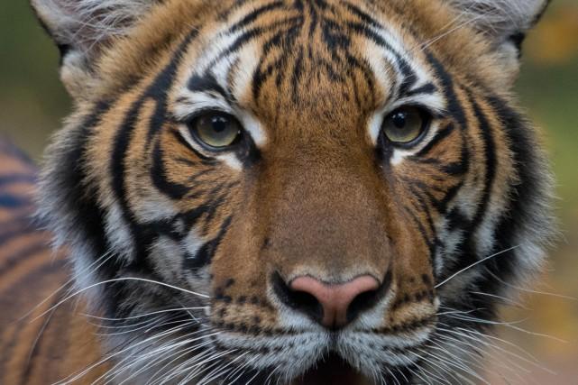 Un tigre d'un zoo de New York atteint de la COVID-19