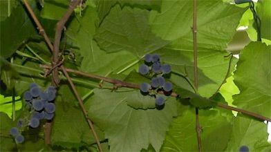 La vigne comme ornementale belle vigoureuse et g n reuse - Taille vigne raisin de table ...