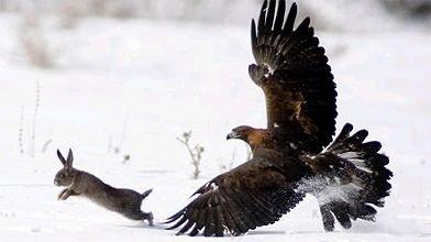 Un aigle royal apprivoisé poursuit un lièvre durant...