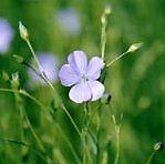 Le lin se reconnaît à ses délicates fleurs...