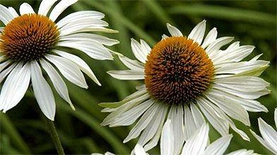 Une rare échinacée blanche, la «Fragrant Angel» aux...