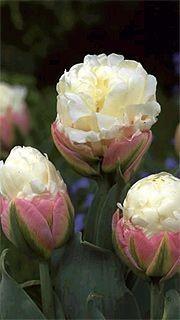 L'étrange tulipe «Ice Cream»...