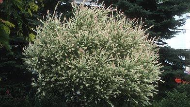 J'ai planté un saule maculé (Salix integra oeHakuro Nishikioe). Dois-je...