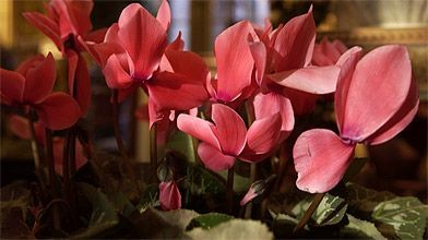 Plusieurs plantes sont associées au temps des Fêtes. C'est le cas évidemment...