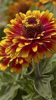 Le zinnia «Zowie Yellow Flame» est lumineux....