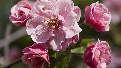 Les fleurs du pommetier «Brandy Wine» sont semblables...